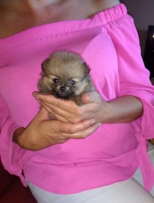 preciosos cachorros de Pomerania listos para un nuevo hogar