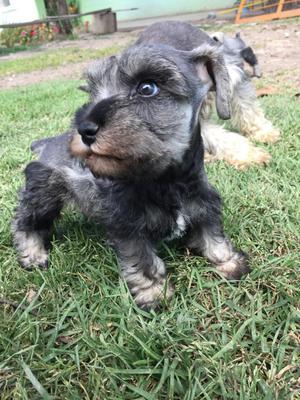 Cachorros Schnauzer Miniatura Machos
