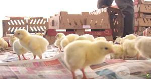 venta de pollos bebe enviamos a todo el peru