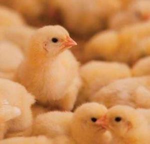 pollos de engorde en venta  envios a todo el peru