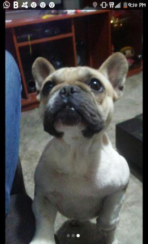 Bulldog Frances Busca Nuevo Hogar