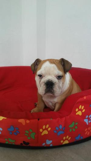 Bulldog Ingles Cachorro