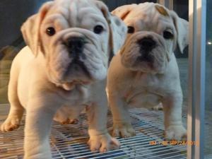 bulldog ingles cachorrosmachos hembras fotos actuales