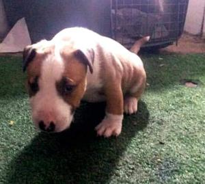 cachorro bully terrier de 2 meses