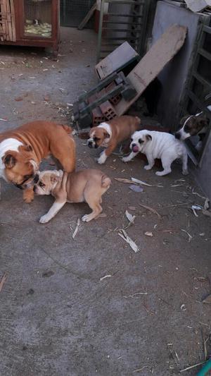 Bulldog Inglés Machos de 4 Meses