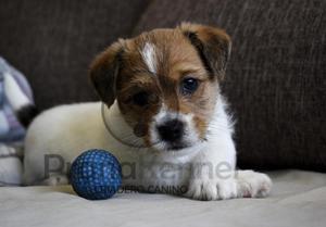 Jack Russell Terrier machos