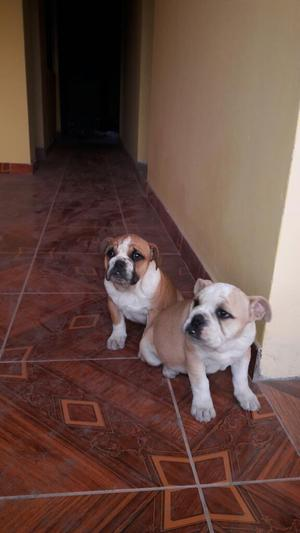 Vendo Cachorro Bulldog Inglés a