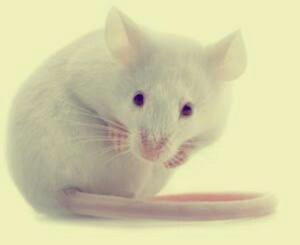 Ratones Albinos