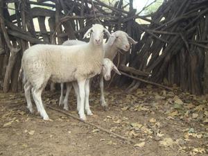 venta de ganado ovino para reproduccion