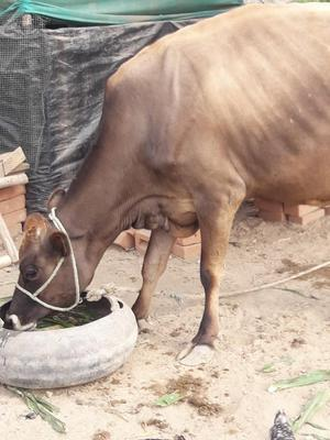 Se Vende Leche de Vaca