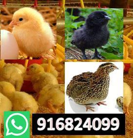venta de aves envios a todo el peru lleva casero