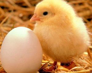 venta de pollos cobb envios a todo el peru patos