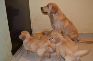 Cachorros Golden Retriever Raza Pura