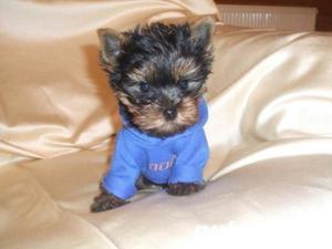 Yorkshire terrier Toy Mini bellos cachorros Vacunados