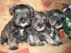 Bellos Cachorros Sehnauzar Vacunados