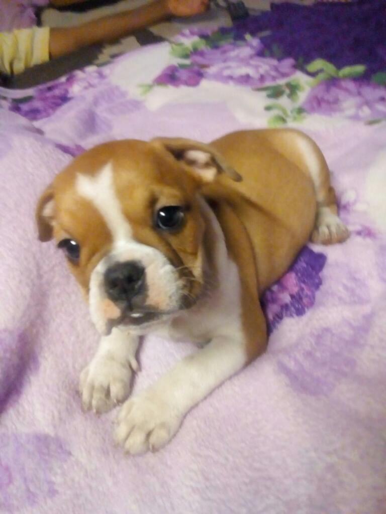 Cachorra Bulldog Inglés