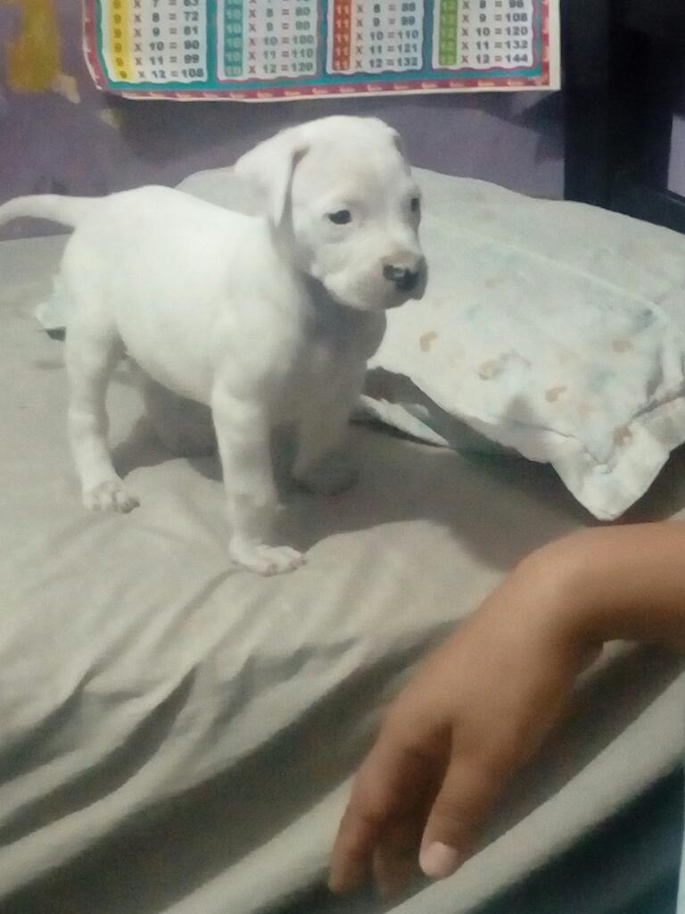 Dogo Argentino Padre Pedigree