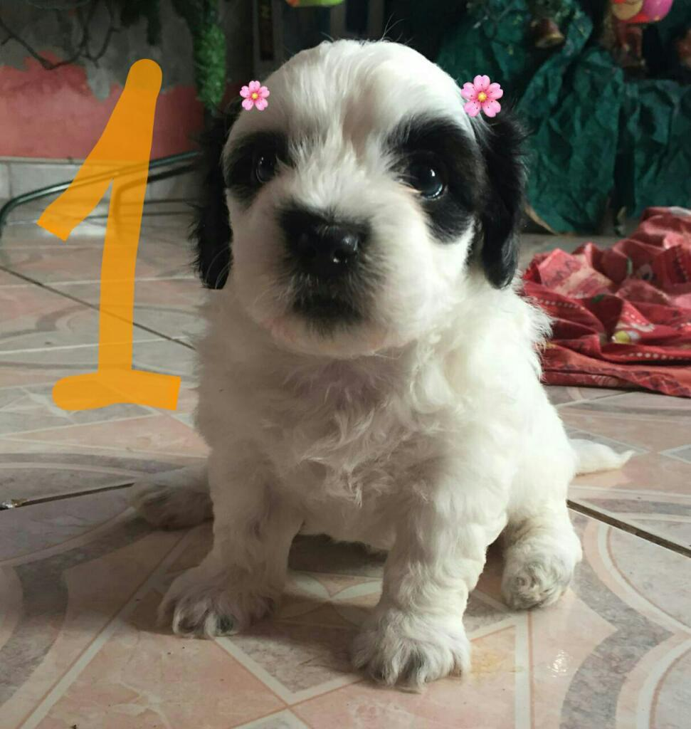 Vendo 3 Cachorras Shih Tzu Nuevo Hogar