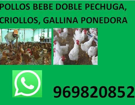vendo patos pekines a buen precio envio a provincia