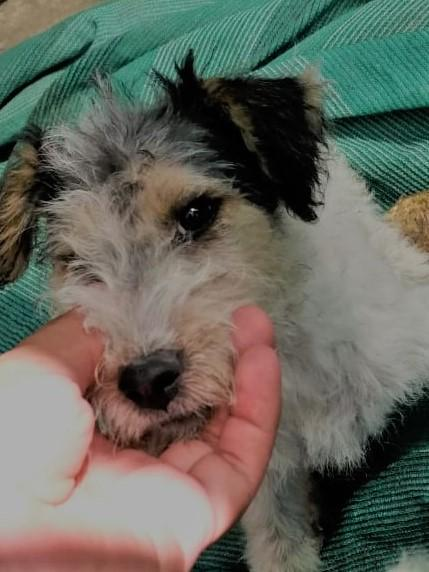 Se vende ultimo cachorro FOX TERRIER de 2 meses