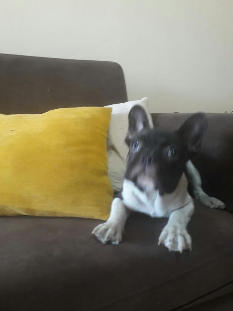 Bulldog Frances 5 Meses