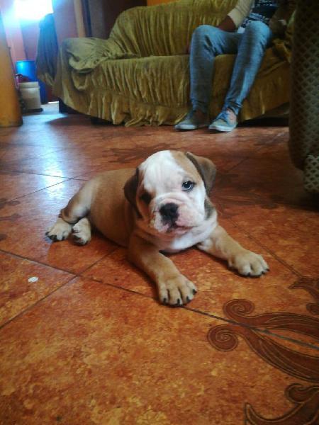Vendo Bulldog Ingles