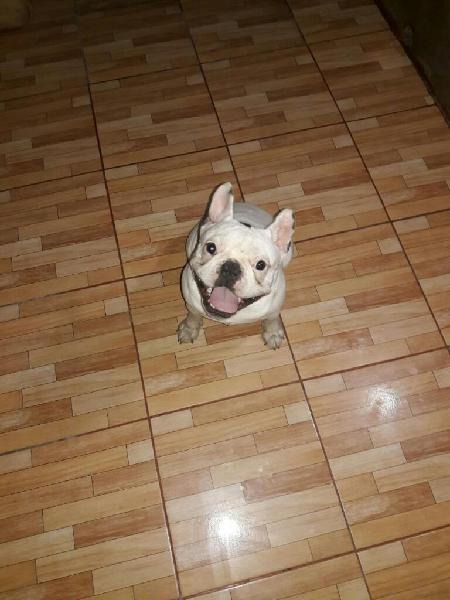 Bulldog Frances Servicio Monta