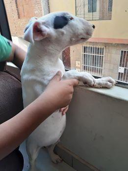 Remato urgente cachorros Bull Terrier