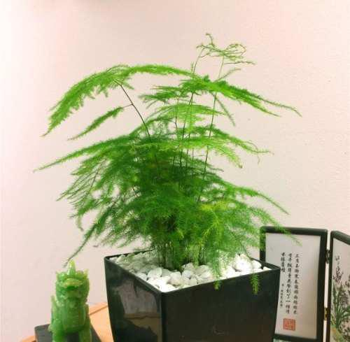 Bonsai Asparagus Elecho Con Masetita Para Casa U Oficina