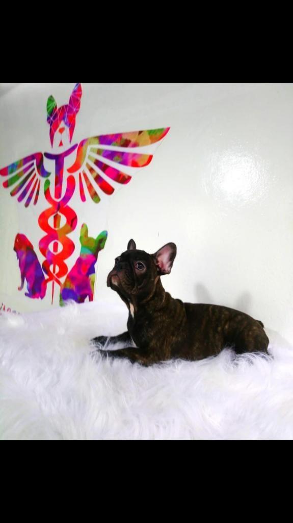 Bulldog Frances hembra 5 meses