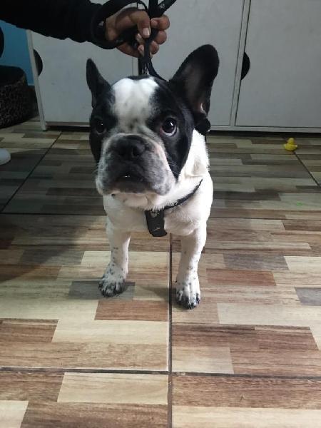 Vendo Lindo Cachorro Bulldog Frances de